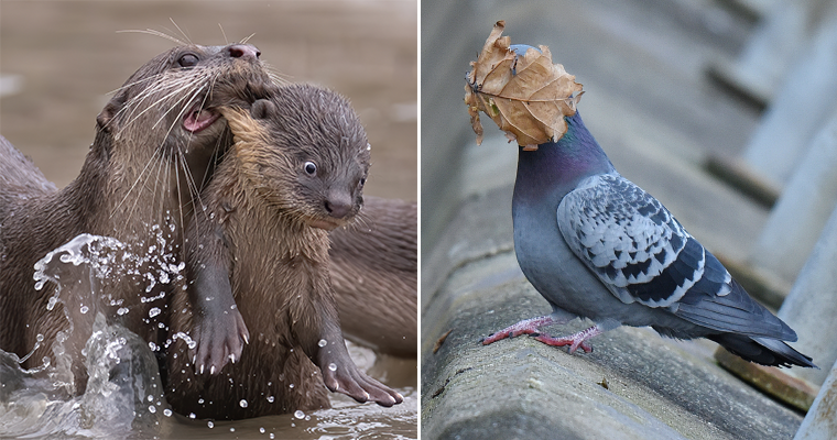 Two funny wildlife fotos: a pidgeon with a leaf stuckto his head and an otter, neck-biting another otter with a surprised look on its face